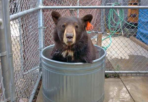 Meatball, also known as Glen Bearian, cools off in a tub of water at the Lions, Tigers & Bears sanctuary in Alpine, Calif.