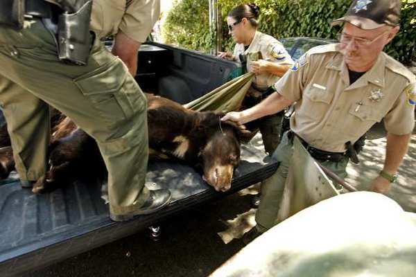 California Department of Fish and Game wardens transfer Meatball in July.