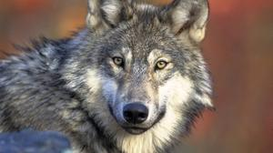 Gray wolf legislation signed into law