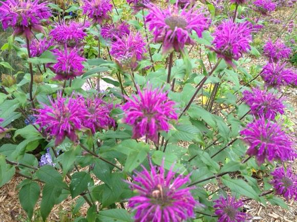"Bee balm is a native plant that benefits bees and butterflies, so try it in 2013 as part of ""living green."""