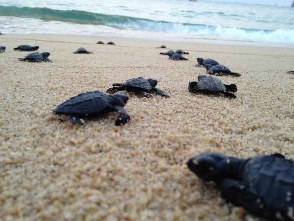 Baby turtles make their way to the sea after being released by guests at Hacienda Beach Club & Residences in Cabo San Lucas, Mexico.