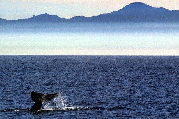 It's whale watching season, with 182 spotted off the Palos Verdes Peninsula since Dec. 1.