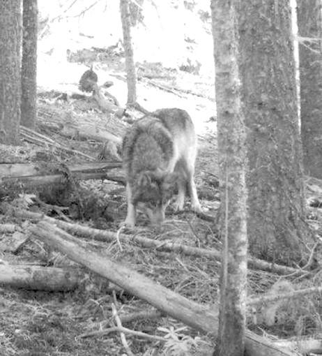 A photo from a hunter's trail camera appears to show OR7, the young male wolf that has traveled more than 3,000 miles since leaving his pack in northeastern Oregon.