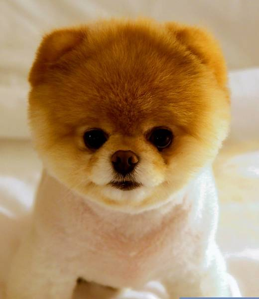 Boo, a 6-year-old Pomeranian, is an Internet sensation, has millions of fans on Facebook and has a third book coming out later this year.