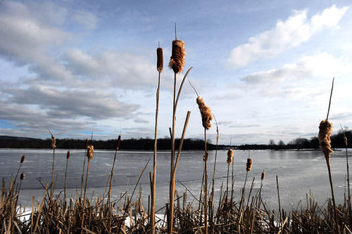 Cattails reach for the blue sky at the edge of Minsi Lake in Upper Mount Bethel Township Wednesday.