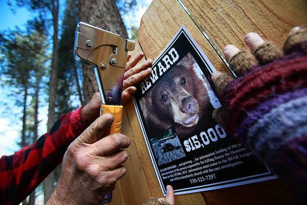A reward poster is stapled to a fence in South Lake Tahoe offering a reward for information leading to the arrest and conviction of whoever killed the beloved Sunny the bear.