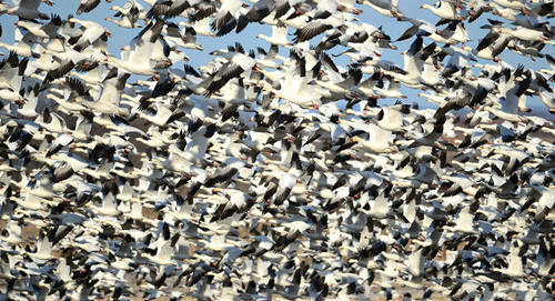 Thousands of snow geese fly over fields in the Ruchsville section of North Whitehall Twp. Wednesday afternoon. They were landing in fields near the intersection of Willow Street and Mauch Chunk Road.
