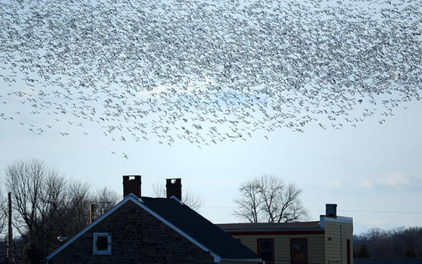 Thousands of snow geese fly over homes in the Ruchsville section of North Whitehall Twp. Wednesday afternoon. They were landing in fields near the intersection of Willow Street and Mauch Chunk Road.