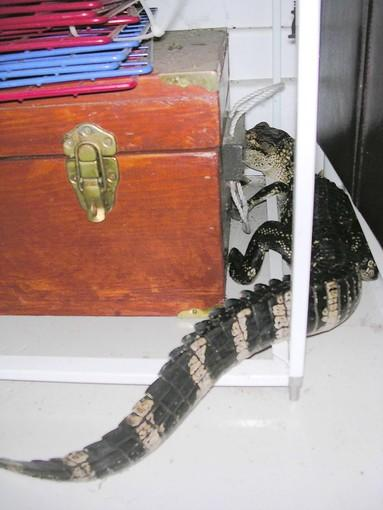 The alligator in Lauren Ritchie's garage didn't stay long; she grabbed a broom and swept him out the door.