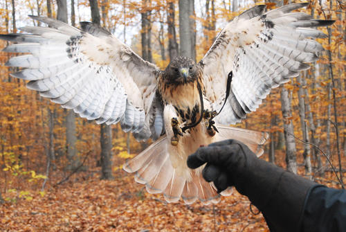 Ayla, a large male red-tailed hawk returns to his master's glove after a free flight in the woods. Ayla is flown almost daily by his owner, licensed falconer Brook Barney.