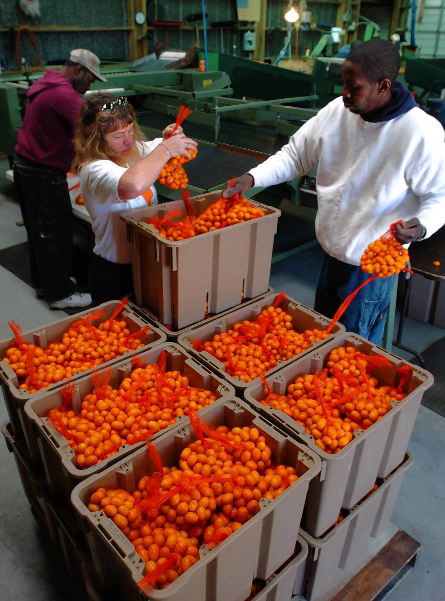 Kumquats will be the stars of the annual Kumquat Festival on Jan. 26 in Dade City. The event features arts and crafts and kumquat treats.