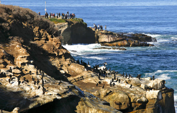 The beauty and tranquility of La Jolla Cove are flawed by the odor of the excrement left behind by the gulls, cormorants, pelicans and sea lions that perch on the rocks.