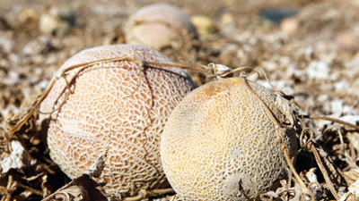 This Sept. 28, 2011 file photo shows cantaloupes rotting in the afternoon heat on a field on the Jensen Farms near Holly, Colo. The U.S. Food and Drug Administration on Friday proposed the most sweeping food safety rules in decades, requiring farmers and food companies to be more vigilant in the wake of deadly outbreaks in peanuts, cantaloupe and leafy greens.