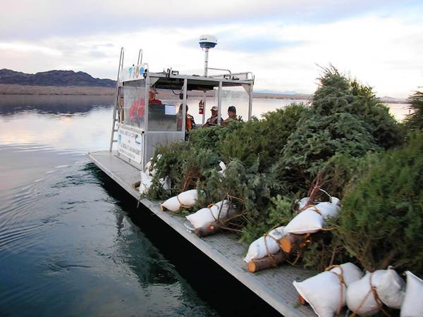 Recycled Christmas trees are piled atop a barge and transported to pre-designated sites in Lake Havasu. It takes a Christmas tree five to six years to decompose under water. So each year, volunteers toss in as many as 500 additional trees and a thousand brush piles to replenish the reefs.