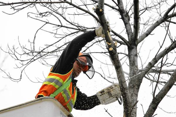 Joe McClellan, a maintenance worker with the Tinley Park Public Works Department, uses a chain saw Dec. 17 to remove branches and pieces of an ash tree infected by the emerald ash borer.