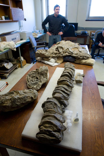 Fossil preparator James Holstein stands next to a 244-million-year-old fossil in a research area of the Field Museum in Chicago.  He discovered the fossil, the Thalattoarchon Saurophagis, during an exploration with paleontologists in a remote mountain range in Central Nevada. The creature was a marine reptile that roamed the sea as a predator that lived at the same time as dinosaurs. At foreground is its vertebra. At top is its skull.