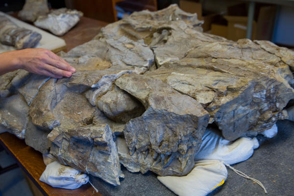 Chief Prepator Akiko Shinya points out parts of a 244-million-year-old fossil in a research area of the Field Museum in Chicago.  The fossil, of the Thalattoarchon Saurophagis, was a marine reptile that roamed the sea as a predator that lived at the same time as dinosaurs. It was found by the Field Museum during an exploration of a remote mountain range in Central Nevada. At bottom are its teeth. To the right of her hand is its eye socket.