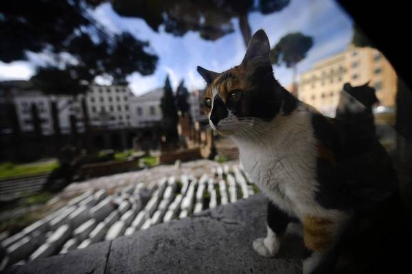 One of the stray cats at the ruins of the Largo di Torre Argentina square in Rome, where a cat sanctuary is threatened with eviction.