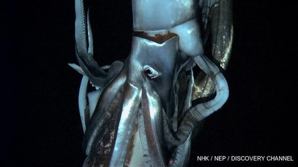 Still image of the giant squid while being captured on video in its natural habitat for the first time.