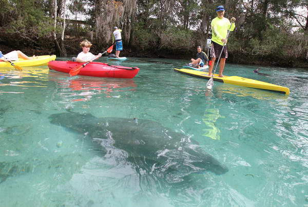 Kayakers, paddleboarders and snorkelers meander through Three Sisters Springs to watch West Indian manatees relaxing in the warm spring waters, Saturday, December 29th, 2012.