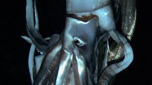 Elusive giant squid caught on video for the first time