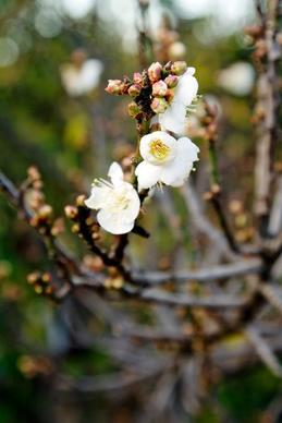 <i>Prunus mume</i>, often called the Japanese apricot or Chinese plum tree, begins to show its petite white blossoms around New Year's at Ocean View Farms in Mar Vista.