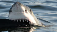 Great white sharks may warrant listing as 'threatened'