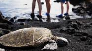 A turtle makes its way across the black sand at Punaluu Beach on HawaiiÕs Big Island