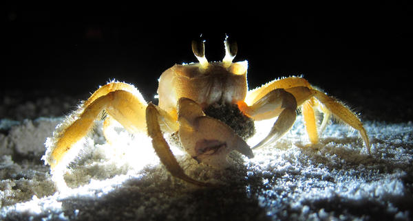 A female ghost crab with her clutch of eggs, out for a latenight feeding on the beach in Ormond Beach, Fla.,  Saturday, July 21, 2012.  (Joe Burbank/Orlando Sentinel)  newsgate cci  ID #   B582241124Z.1 published on 7/28/2012