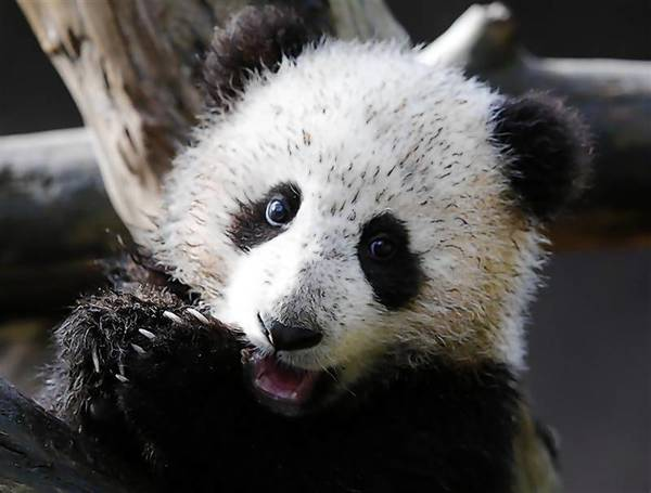 Giant Panda cub Xiao Liwi is shown for the first time on public display after the section of the exhibit frequented by the five-month old bear was opened to the public at the San Diego Zoo.