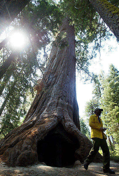 Giant sequoias grow in the wild only on the western slopes of the Sierra Nevada. This 2,000-year-old tree is part of the Trail of 100 Giants in the Giant Sequoia National Monument.