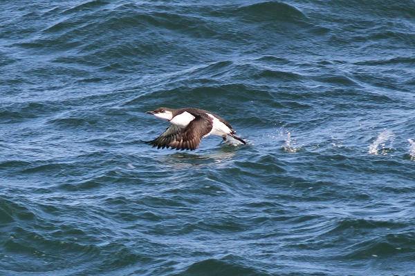 A photo of a Common Murre taken by Bill Asteriades of South Glastonbury Jan. 5 on the John H. in Long Island Sound.