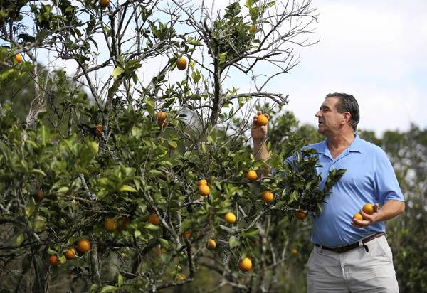 Dr. Todd Husty looks at some of the oranges that he grows on his property. Pickers will help him harvest his many trees this weekend and many of the oranges will be donated to local charities.