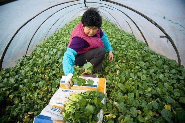 Chinese farmer harvests vegetables