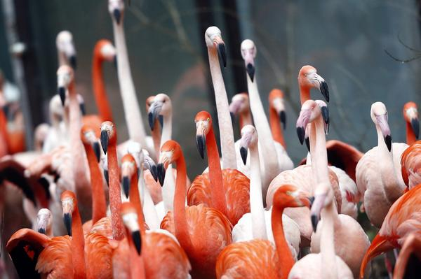 Flamingo birds are pictured in their enclosure during the annual inventory in Munich's zoo Hellabrunn January 10, 2013. Zoo keepers have to measure all animals once a year to update their statistics.