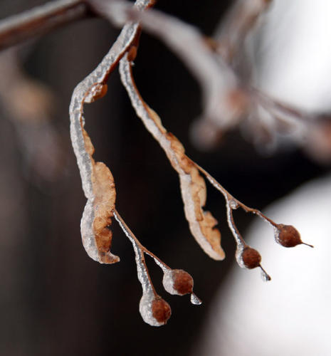 A layer of ice coats the leaves and berries hanging from a tree Friday. photo by john davis taken 1/11/2013