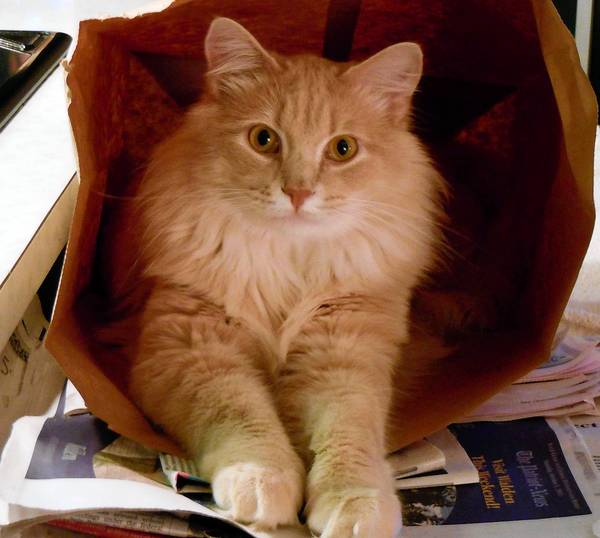 Freddy, a 3-year-old Maine coon mix, wishes for an endless supply of paper bags.