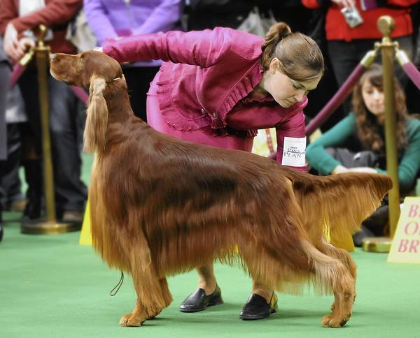 Handler Alessandra Folz of Woodstock, Conn., competes with Donovan, an Irish Setter co-owned by Lydia Miller, of Williams Township at the Westminster Kennel Club Dog Show in New York City last year.