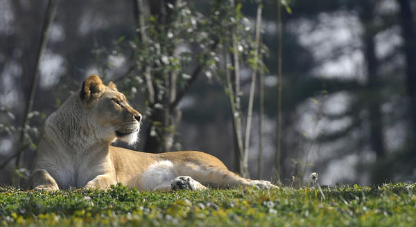 Badu, an African lion, lounges in a sunny spot while on exhibit at Mayland Zoo in Baltimore on am unseasonably warm Saturday.