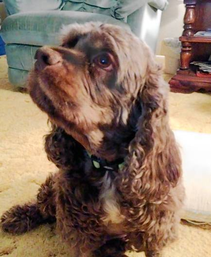 Jada, an 8-year-old cocker spaniel that was attacked by a pit bull.