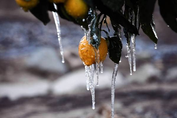 Cold snap endangers citrus