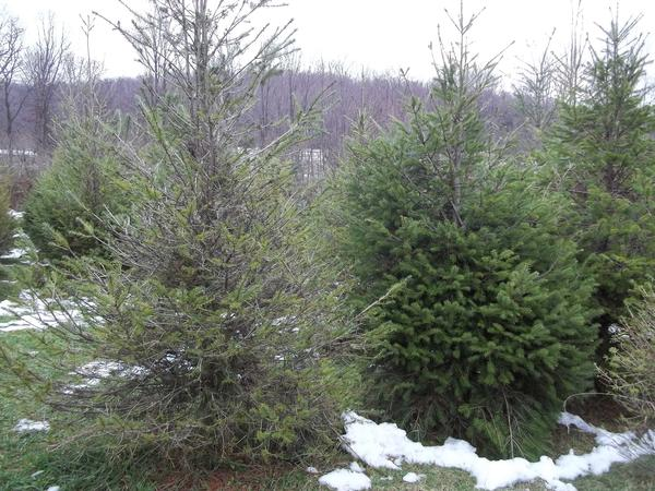 Scenic View has recently had trouble with the disease needle cast. Shown here is a healthy Douglas fir (right) standing beside an infected tree which has lost most of its needles.