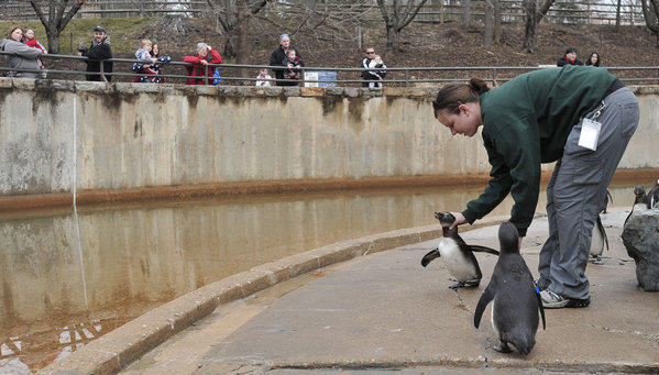 Jen Kottyan, avian collection manager at the Maryland Zoo in Baltimore, puts down a South African Black-footed penguin in the exhibit Saturday. Visitors enjoyed a mild day.