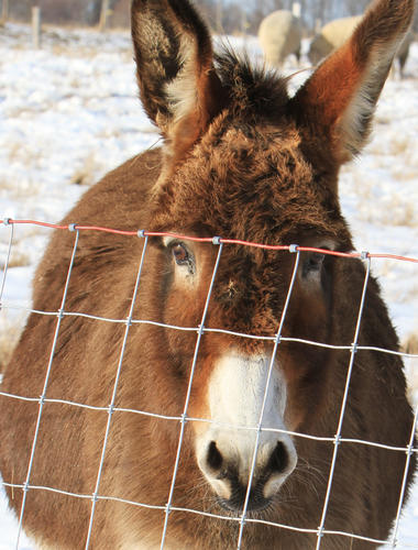 Noreen, one of two donkeys owned by Mike and Anna Belleau of Petoskey, keeps an eye out for predators in the sheep pasture as an occupation. Harmless around people, the donkeys will bite, stomp or kick an animal they consider a threat, such as a dog, wolf, coyote other varmints.