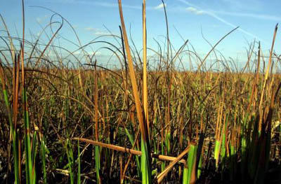 Sawgrass is the most defining plant of the Everglades. It's sharp on one side and smooth on the other.