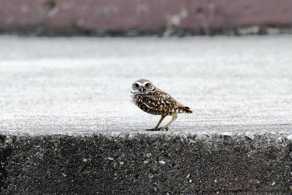 "The rarely seen and difficult to photograph burrowing owl was caught on film by Jerry Goldner, whose ""Owls of Illinois"" exhibit is showing at the Peggy Notebaert Nature Museum in Chicago."