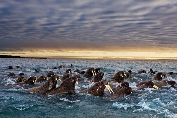 Pacific walruses off the Alaska coast.
