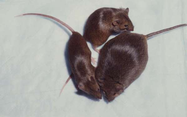 Mice are often used in obesity experiments. These mice are from a different, earlier experiment, involving genetics, in Seattle.