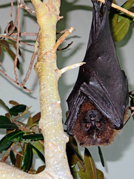 Rodrigues Fruit bat (Pteropus rodricensis) wrapped up in his wings at his new bat house at San Diego Zoo Safari Park