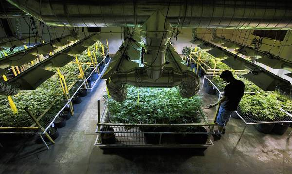 A worker tends to the plants he grows for sale to medical marijuana dispensaries in Denver, Colo.